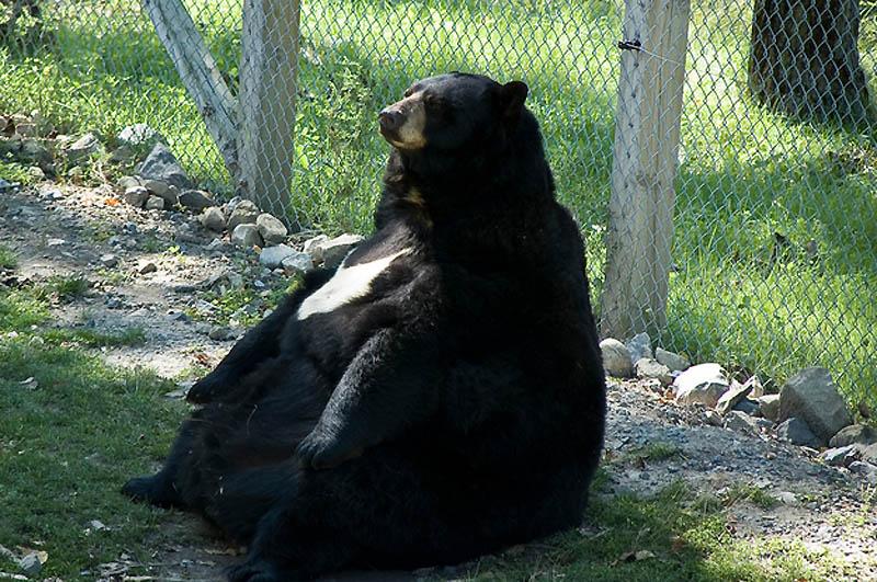2433 Животные с лишним весом