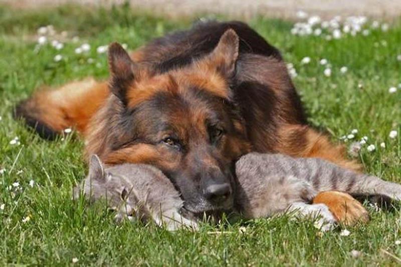 299 Дружба кота и немецкой овчарки