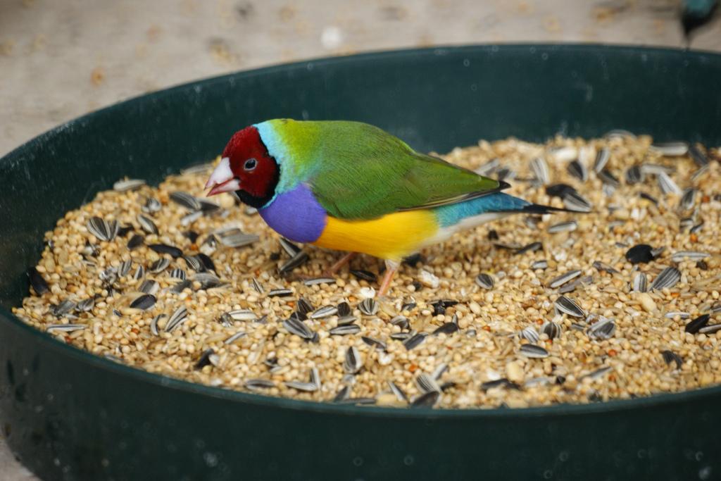 Гульдова амадина самая яркая птица.