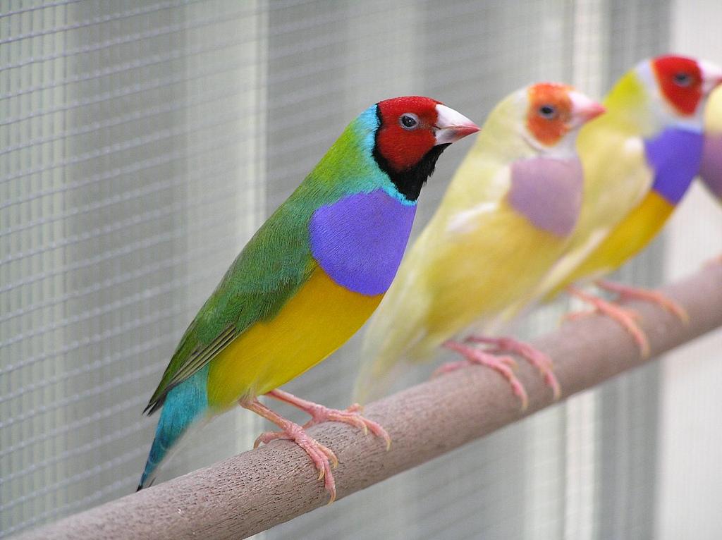 Гульдова амадина одна из самых ярких и красивых птиц.