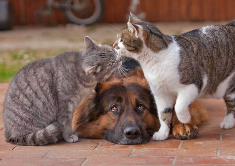 539 Дружба кота и немецкой овчарки