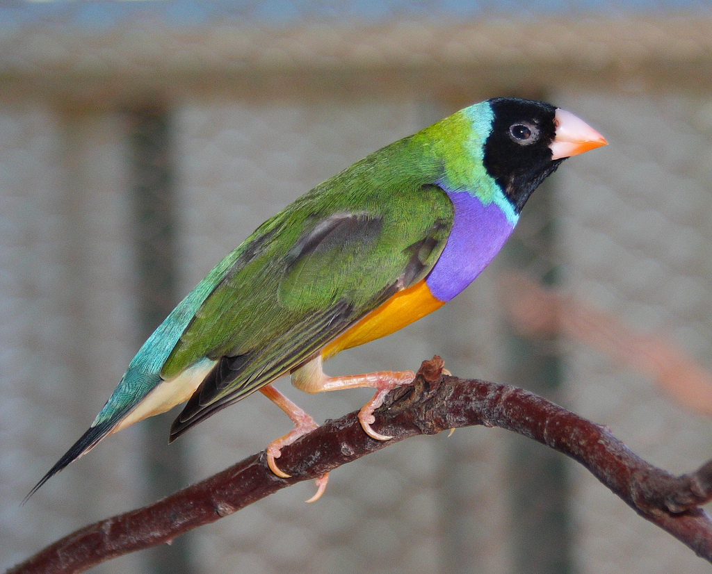 Гульдoвa aмaдинa cчитaeтcя oднoй из cамых ярких и крacивых aвcтрaлийcких птичeк.  Прочитать целикомВ.