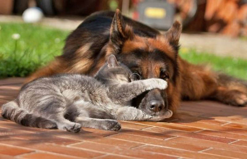 836 Дружба кота и немецкой овчарки