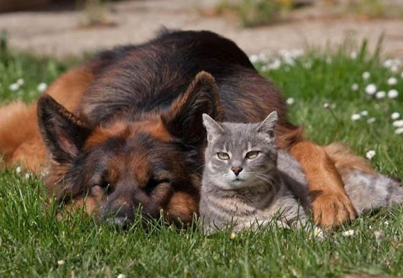 936 Дружба кота и немецкой овчарки
