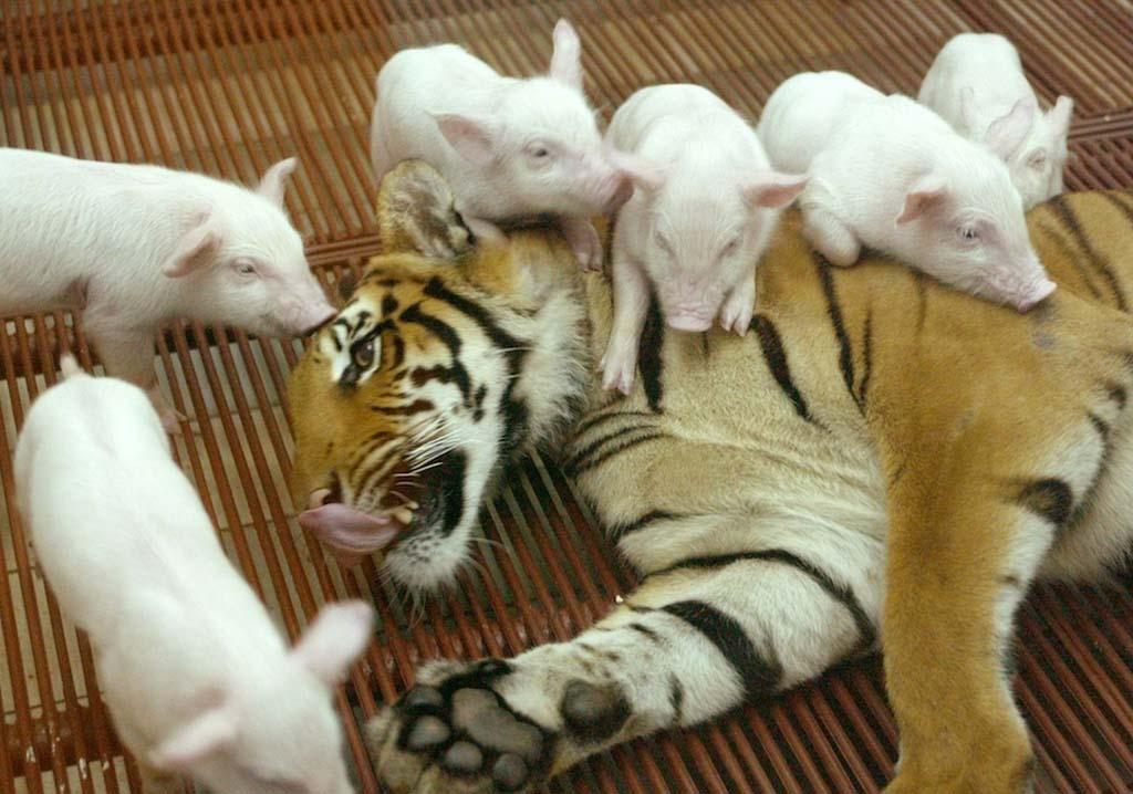 AnimalOddCouples 11 Самые странные парочки животных