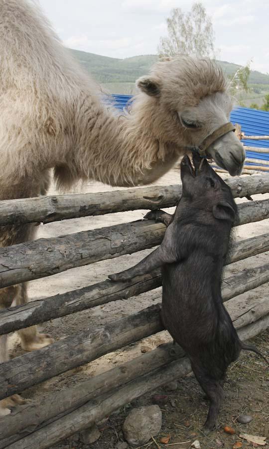 AnimalOddCouples 20 Самые странные парочки животных