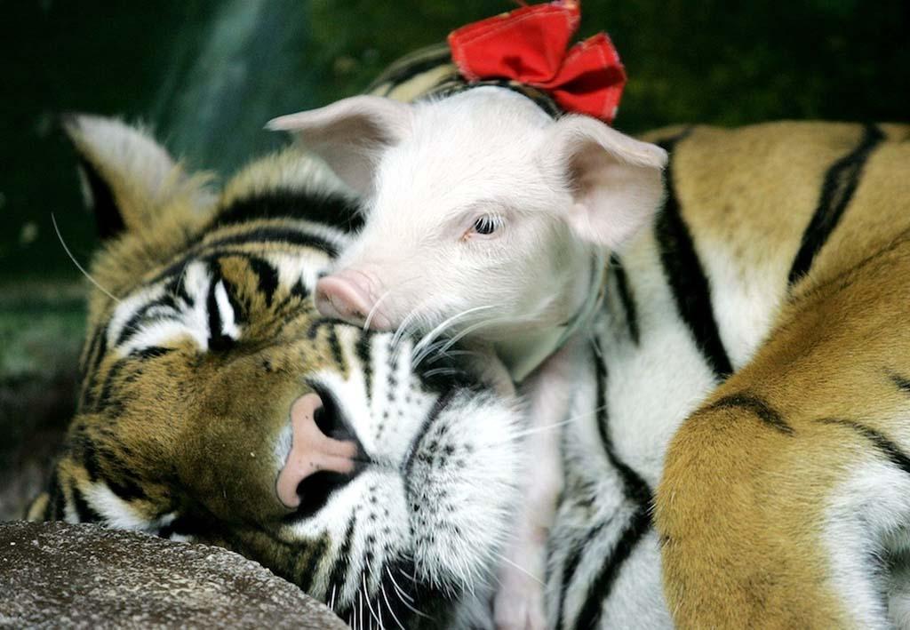 AnimalOddCouples 24 Самые странные парочки животных