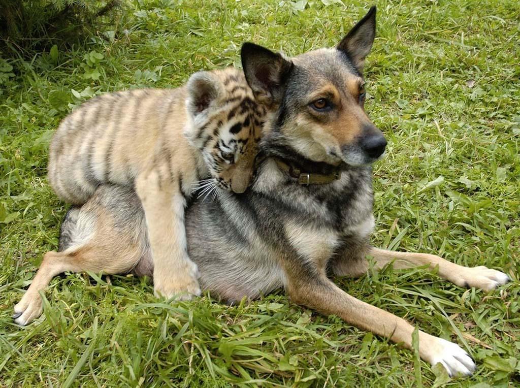 AnimalOddCouples 28 Самые странные парочки животных