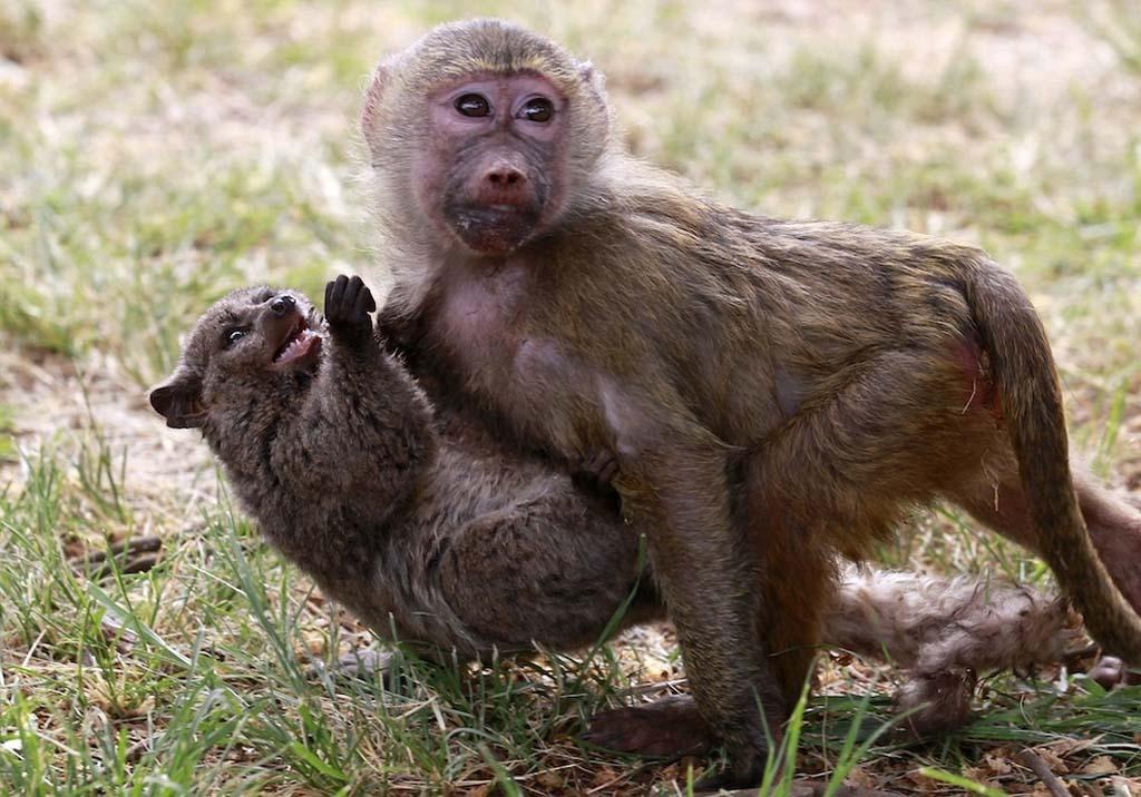 AnimalOddCouples 40 Самые странные парочки животных