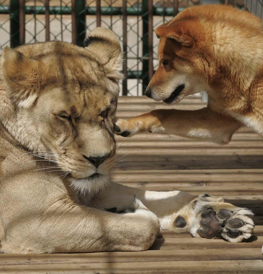 AnimalOddCouples 41 Самые странные парочки животных