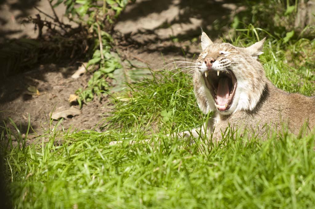 AnimalsYawning 13 Зевающие животные