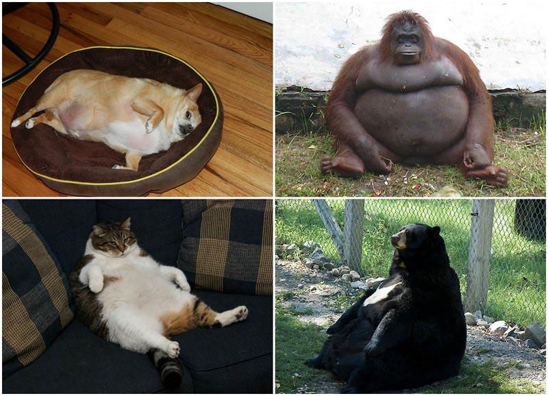 BIGPIC38 Животные с лишним весом