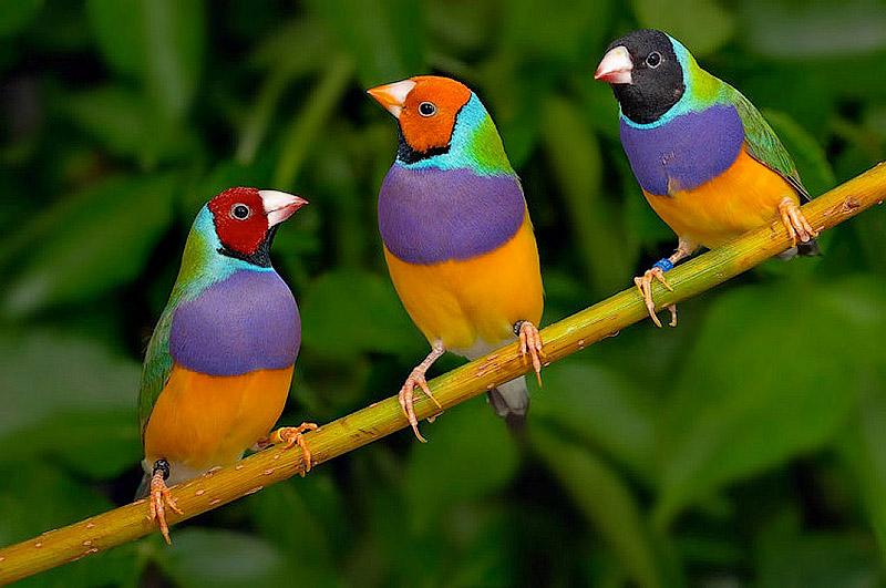 Гульдова амадина — одна из самых ярких и красивых птиц