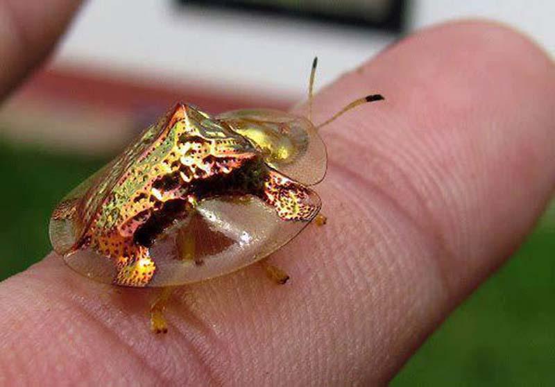 GoldenTortoiseBeetle 0 Золотой жук