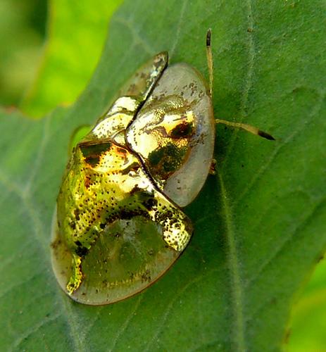 GoldenTortoiseBeetle 1 Золотой жук