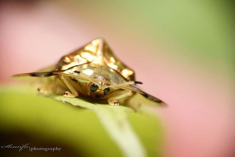 GoldenTortoiseBeetle 4 Золотой жук