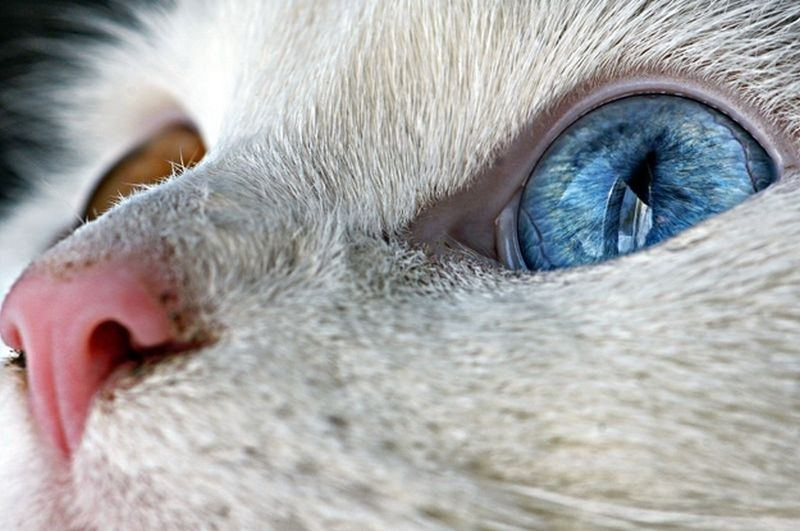 Разноглазые кошки • НОВОСТИ В ФОТОГРАФИЯХ