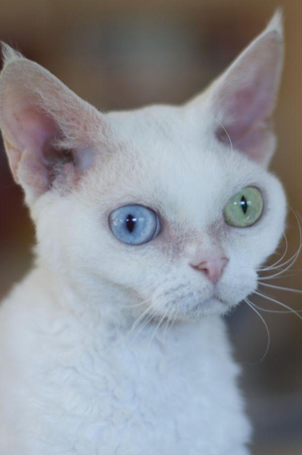 Heterochromia02 Разноглазые кошки