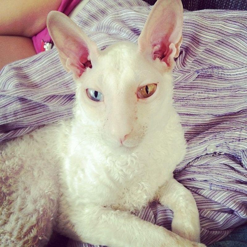 Heterochromia03 Разноглазые кошки