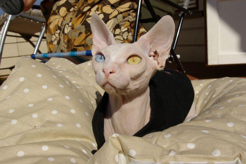 Heterochromia04 Разноглазые кошки