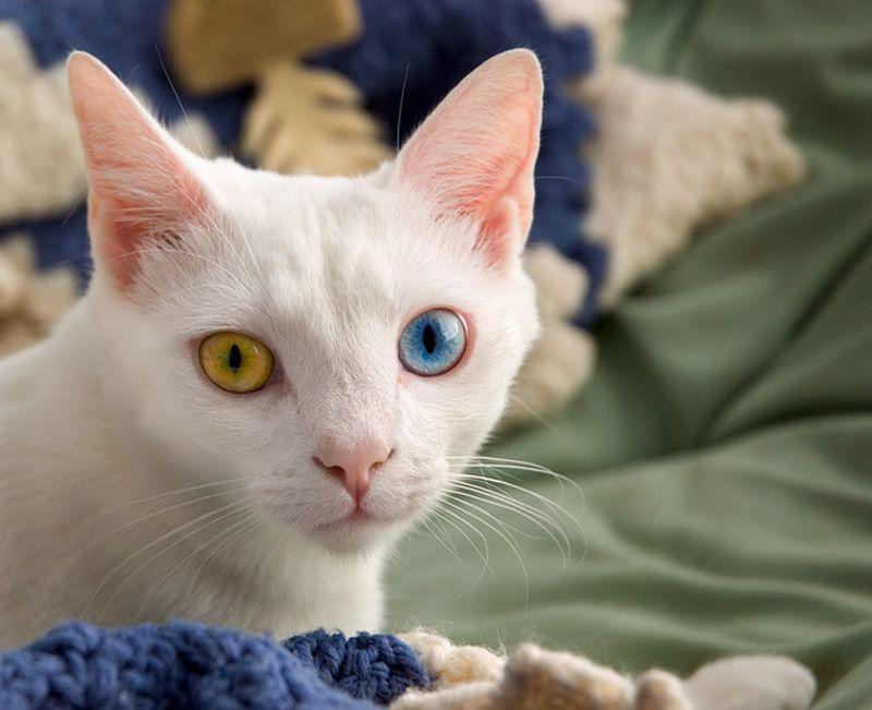 Heterochromia08 Разноглазые кошки