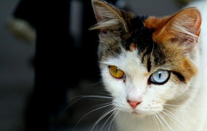 Heterochromia11 Разноглазые кошки
