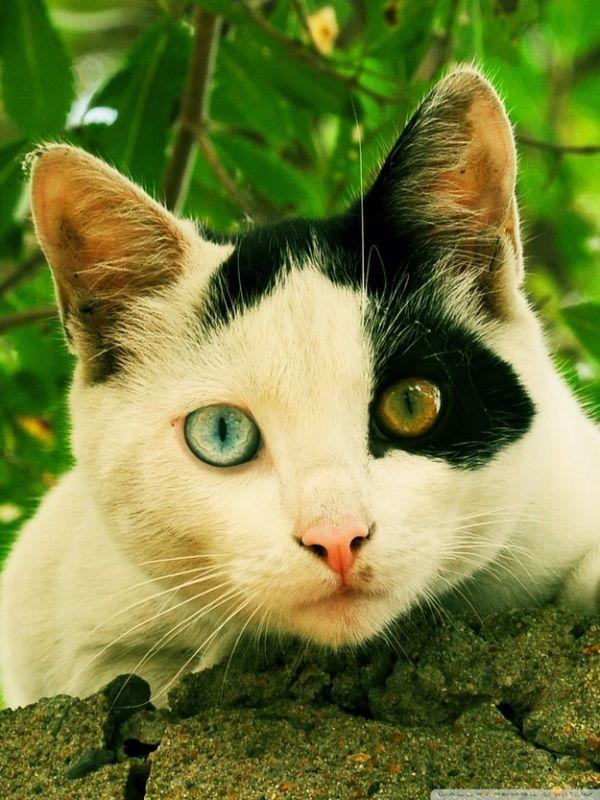 Heterochromia13 Разноглазые кошки