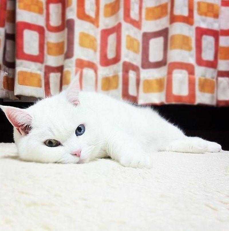 Heterochromia19 Разноглазые кошки