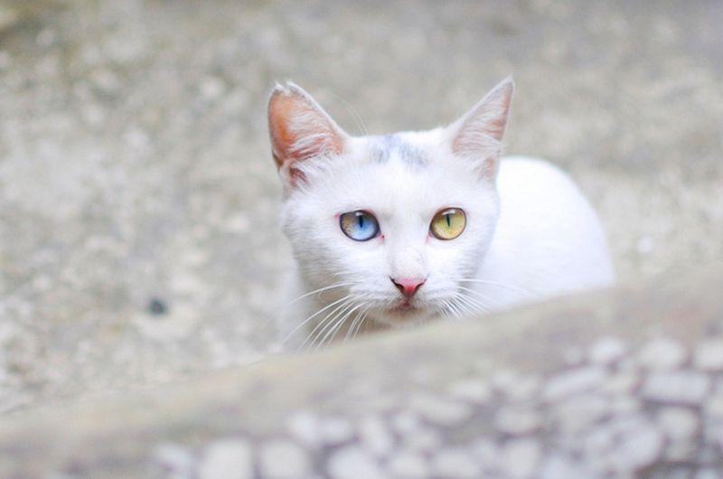 Heterochromia20 Разноглазые кошки
