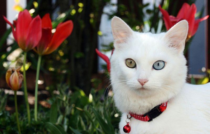 Heterochromia21 Разноглазые кошки