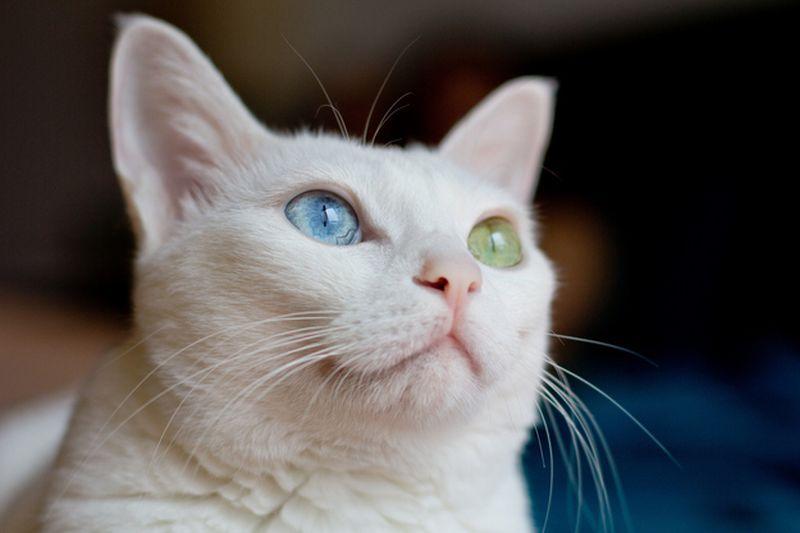 Heterochromia25 Разноглазые кошки