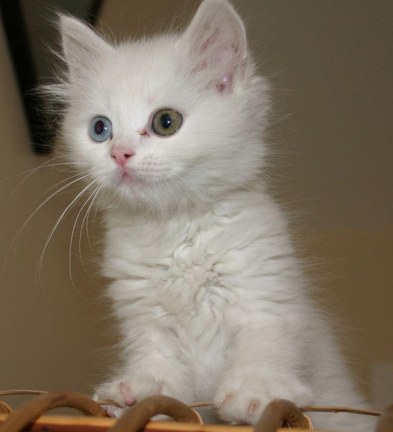 Heterochromia29 Разноглазые кошки