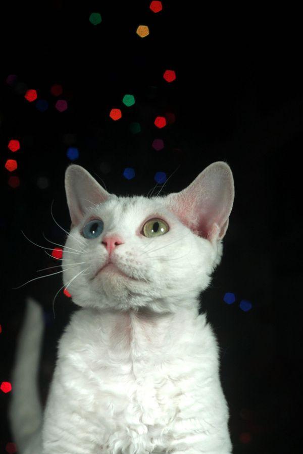 Heterochromia33 Разноглазые кошки