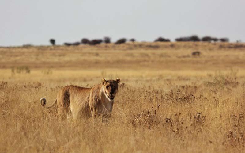 Lion 1 Пропустите львёнка!