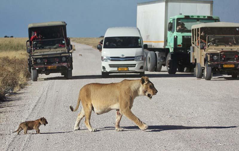 Lion 2 Пропустите львёнка!