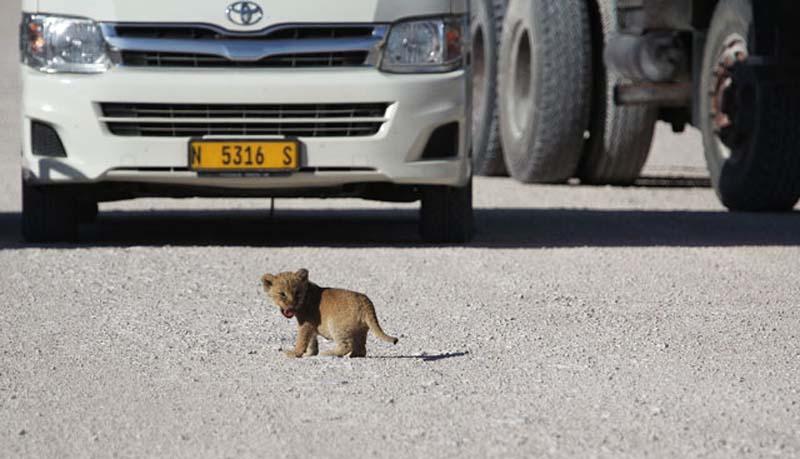 Lion 3 Пропустите львёнка!