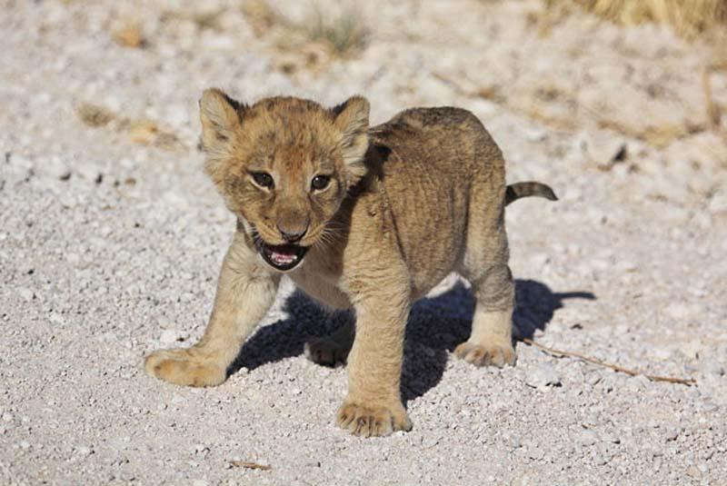 Lion 4 Пропустите львёнка!