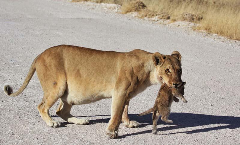 Lion 5 Пропустите львёнка!