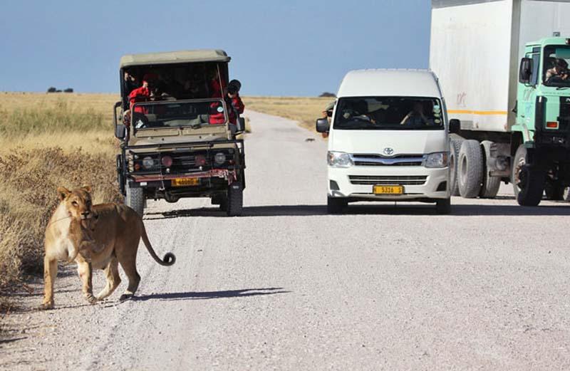 Lion 9 Пропустите львёнка!