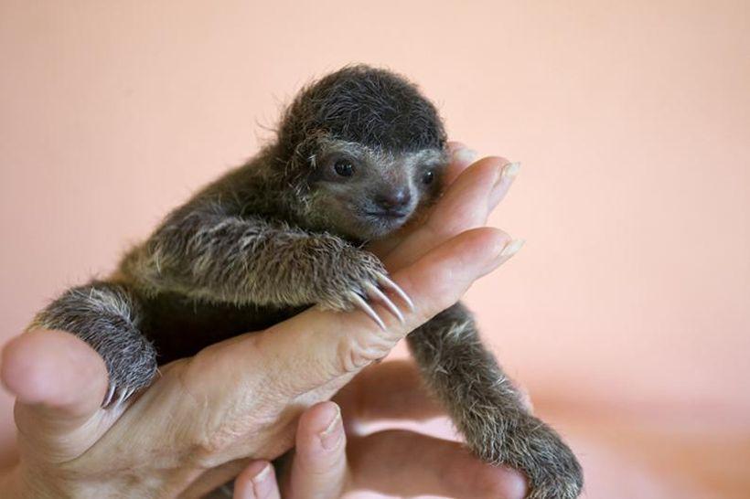 SLOTH03 Заказник ленивцев в Коста Рике
