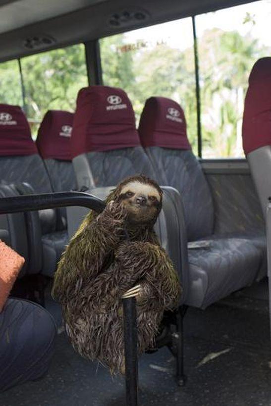 SLOTH06 Заказник ленивцев в Коста Рике
