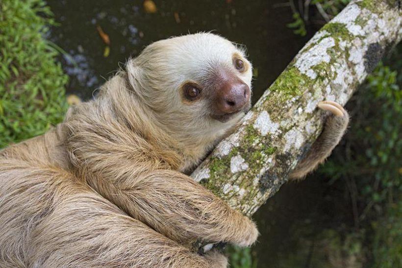 SLOTH09 Заказник ленивцев в Коста Рике