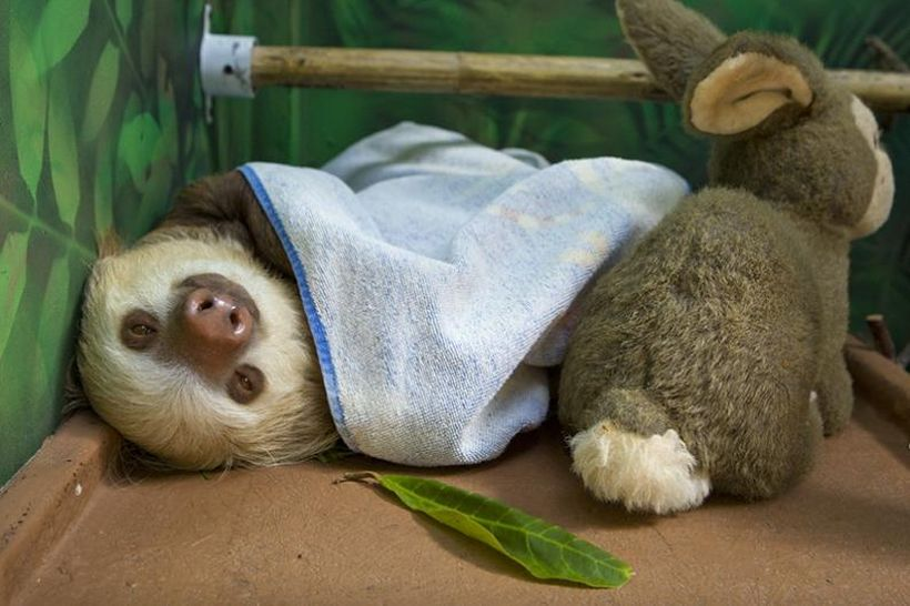 SLOTH10 Заказник ленивцев в Коста Рике