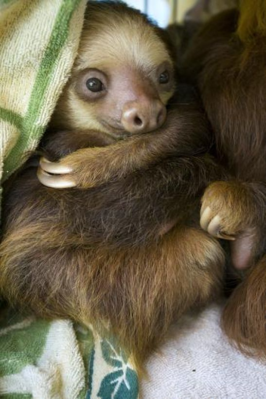 SLOTH11 Заказник ленивцев в Коста Рике