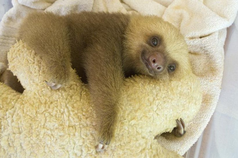 SLOTH12 Заказник ленивцев в Коста Рике