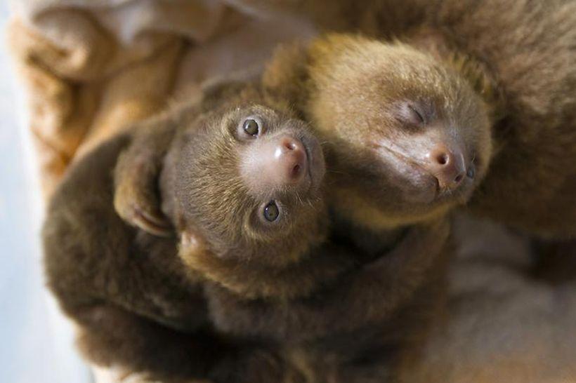 SLOTH14 Заказник ленивцев в Коста Рике