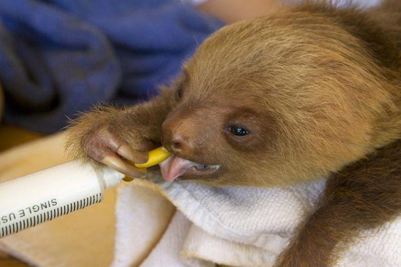 SLOTH15 Заказник ленивцев в Коста Рике