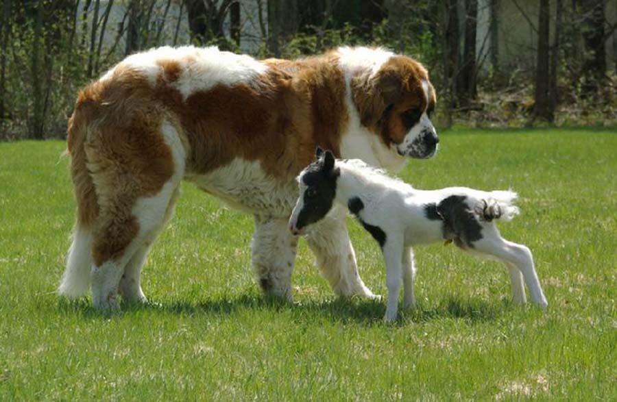 Занимательные истории о животных ,фото... SmallestHourse-1