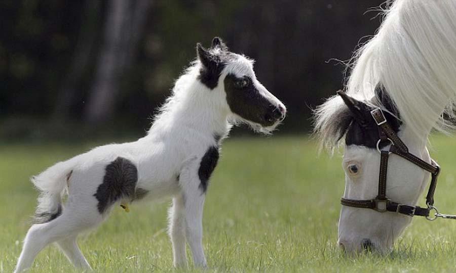 Занимательные истории о животных ,фото... SmallestHourse-5
