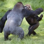 Трогательная встреча двух братьев-горилл после долгой разлуки